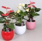 Домашний цветок  - Антуриум