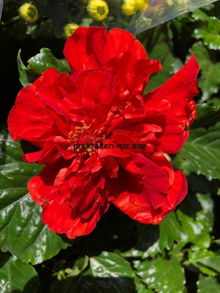 Домашний цветок -  Гибискус