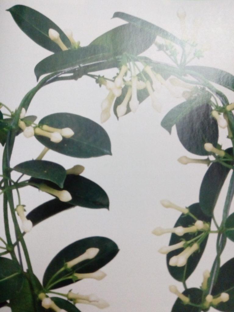 """""""Мадагаскарский жасмин"""" - Стефанотис"""