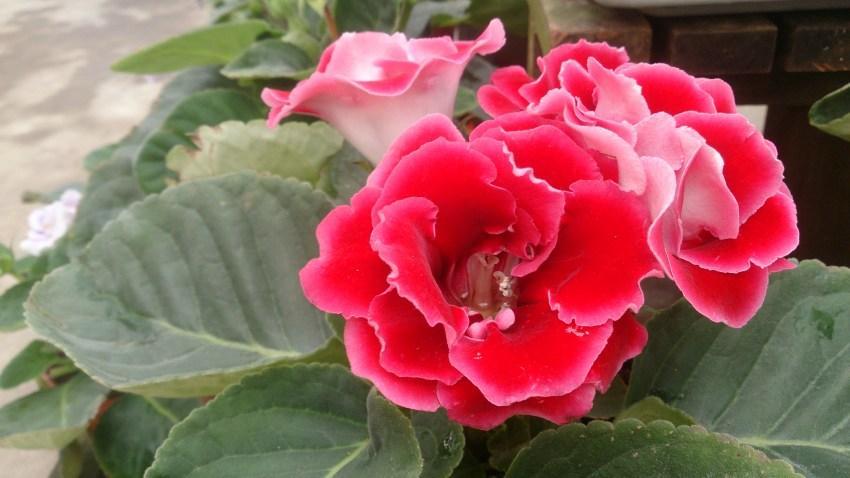 Домашний цветок -чудо из Бразилии