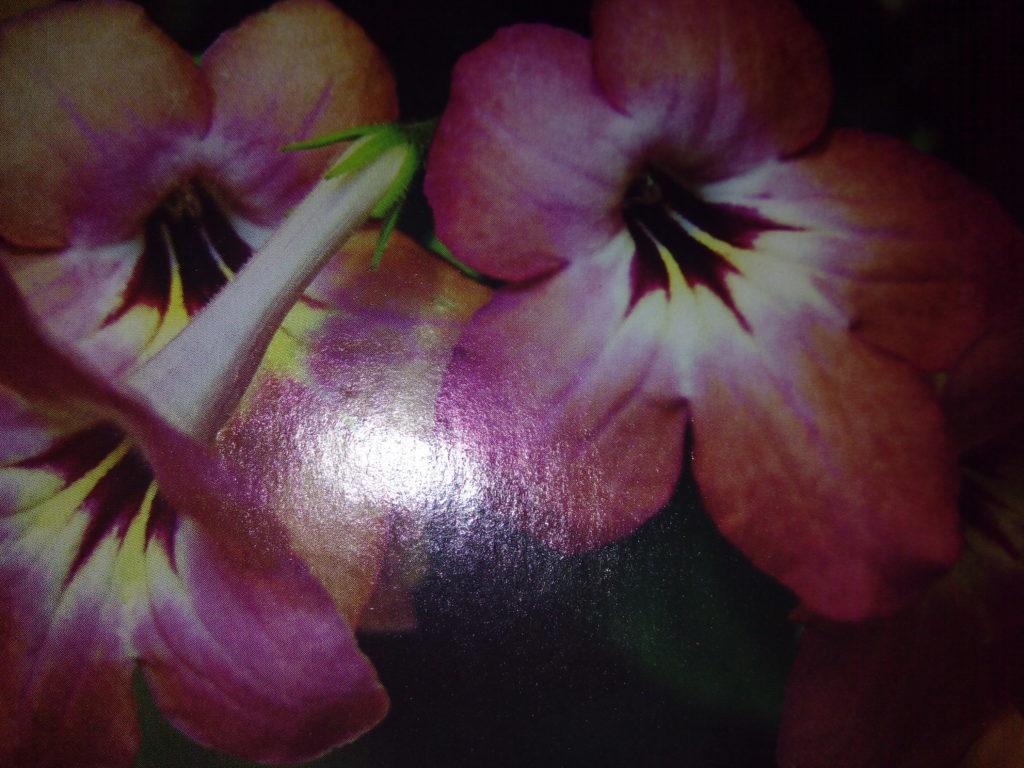 СТРЕПТОКАРПУС - комнатное растение в домашних условиях