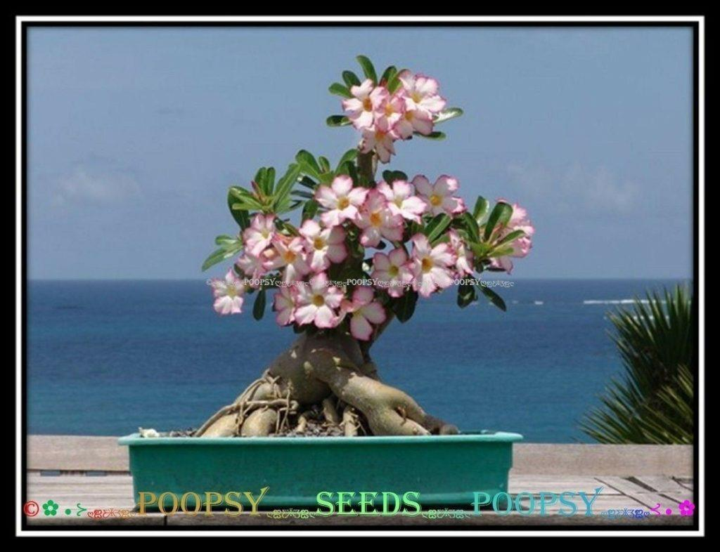 Роза пустыни - Адениум