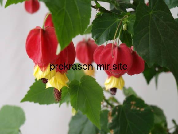 Домашний цветок  - Абутилон