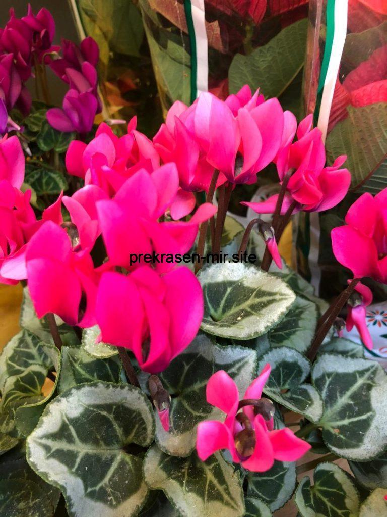 ЦИКЛАМЕНЫ - комнатные  цветы в домашних условиях