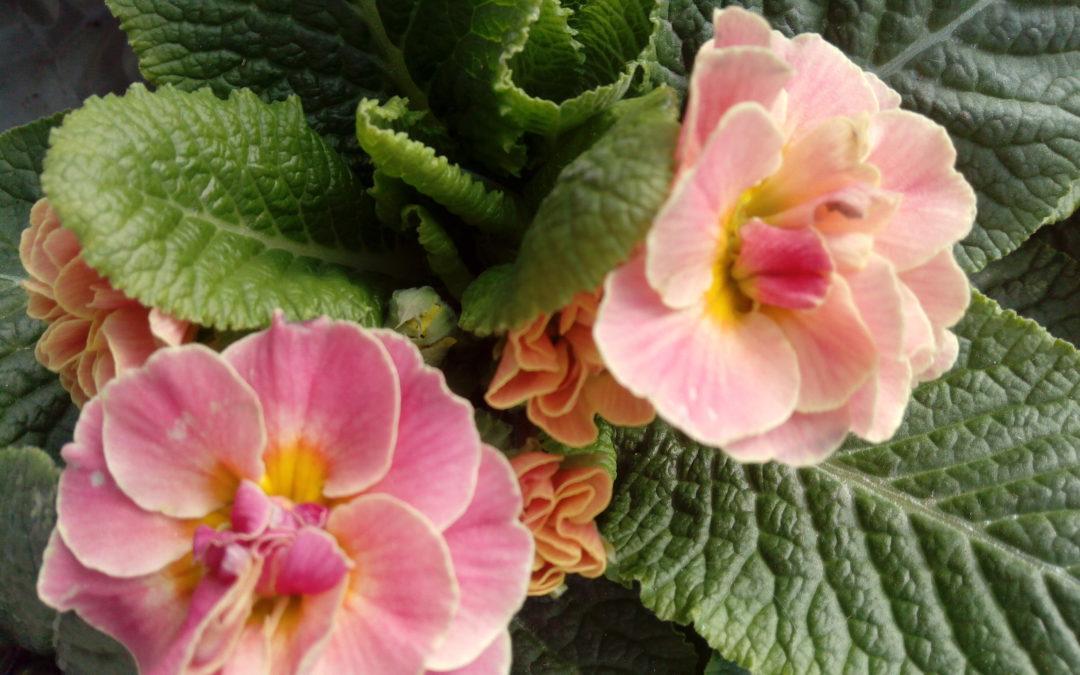 Комнатные цветы в домашних условиях -ПРИМУЛА