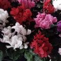 Комнатные цветы в домашних условиях -ЦИКЛАМЕН