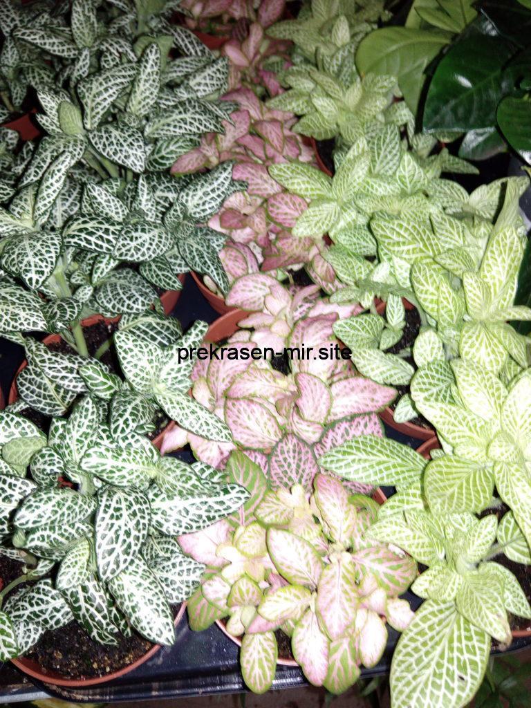ФИТТОНИЯ - комнатный цветок в домашних условиях