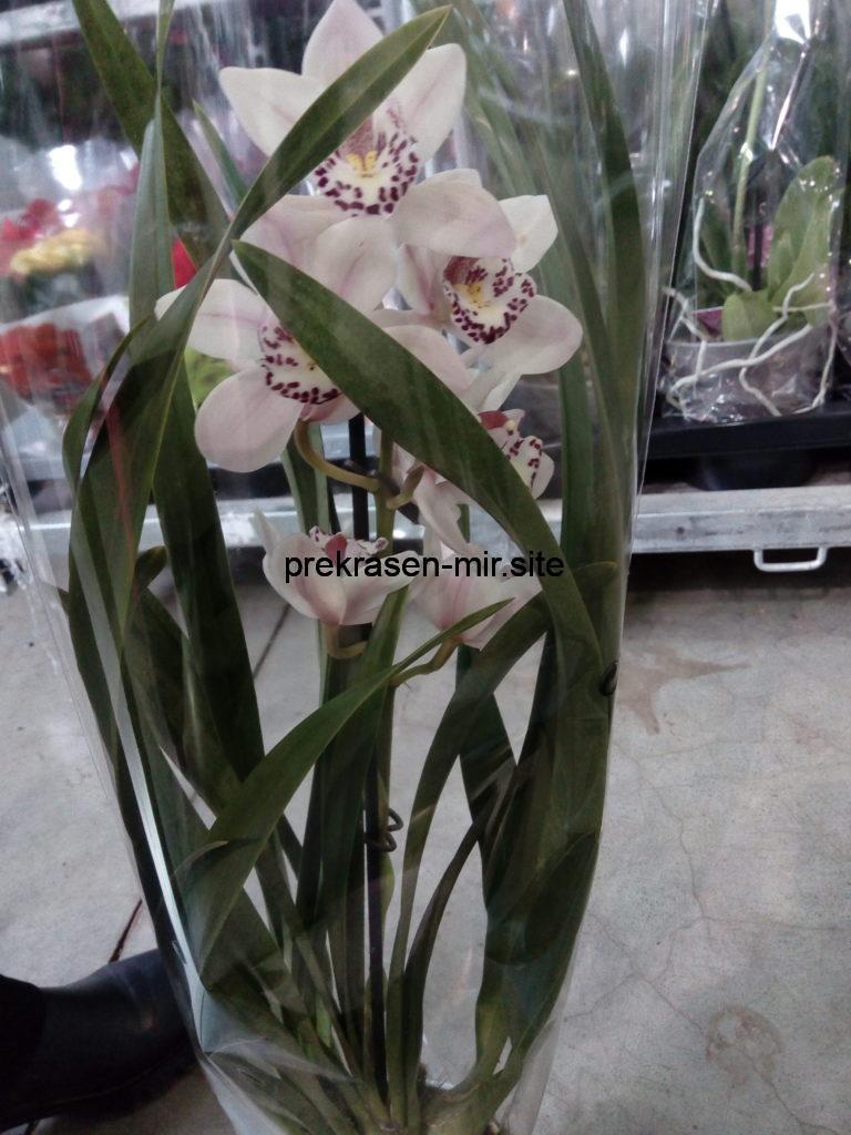 ОРХИДЕЯ - комнатное растение в домашних условиях
