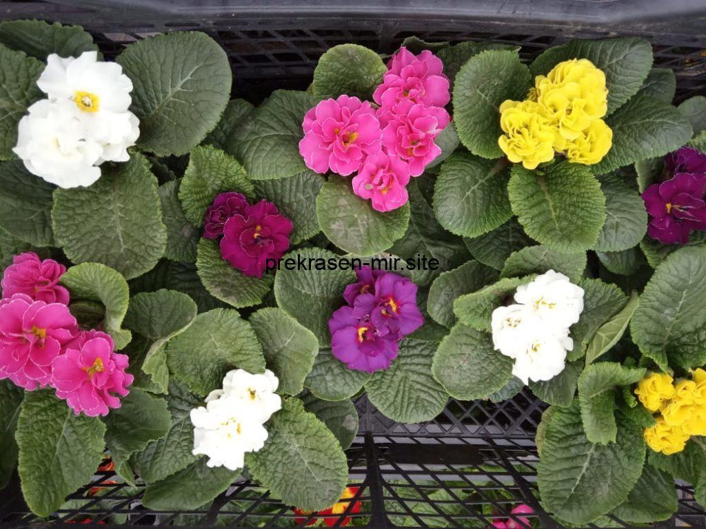 ПРИМУЛА - комнатный цветок в домашних условиях