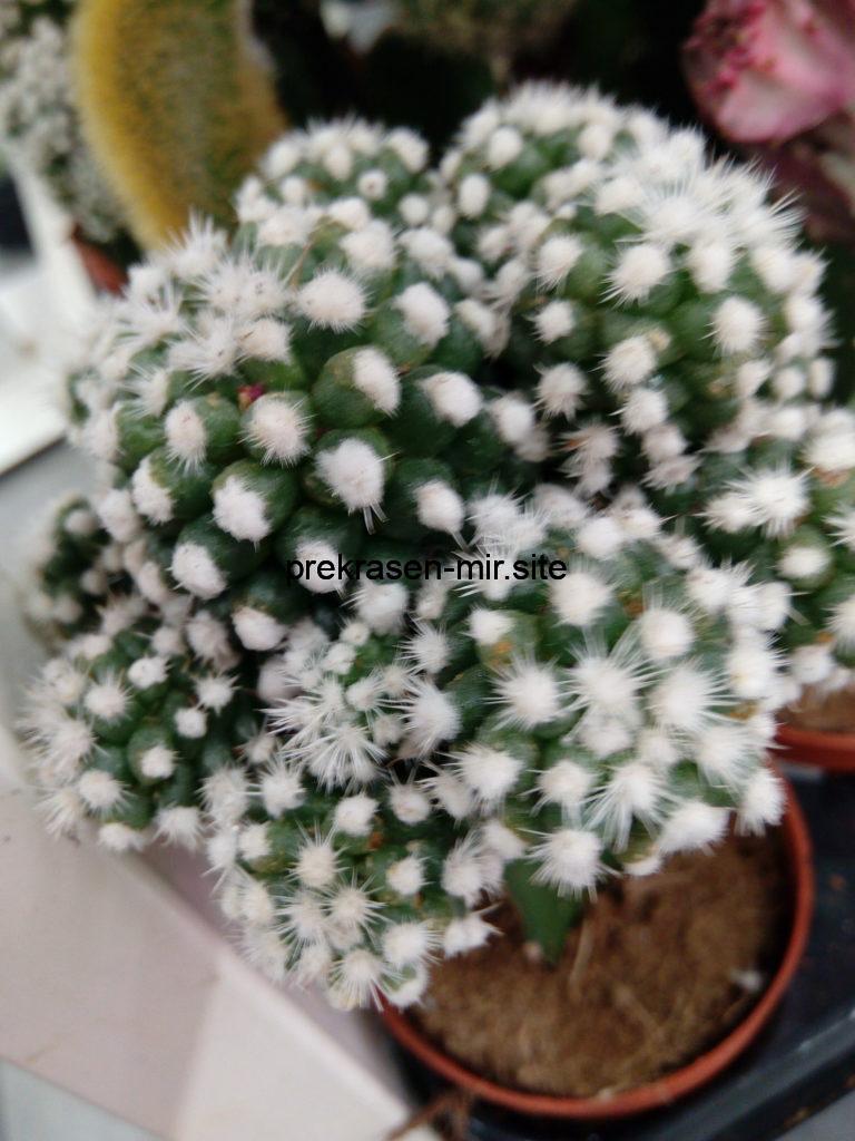 КАКТУСЫ _комнатные цветы в домашних условиях