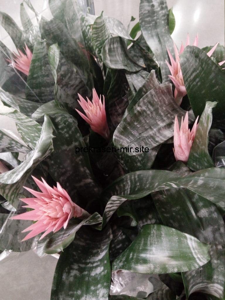 ЭХМЕЯ - комнатный цветок в домашних условиях