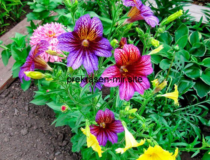 Salpiglossis is a home plant.