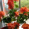 КРОССАНДРА - комнатное растение в домашних условиях
