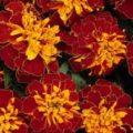 Тагетес-золотоносный, домашнее цветущее растение
