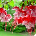 ФУКСИЯ - комнатное растение в домашних условиях.