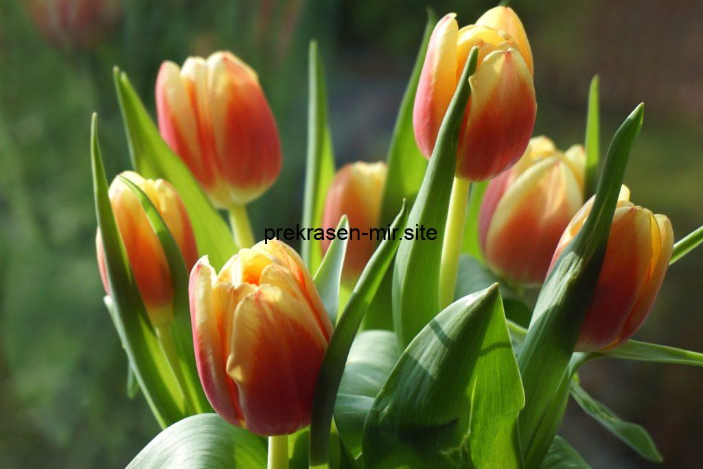 ФАН - ФАН ТЮЛЬПАН - домашний цветок