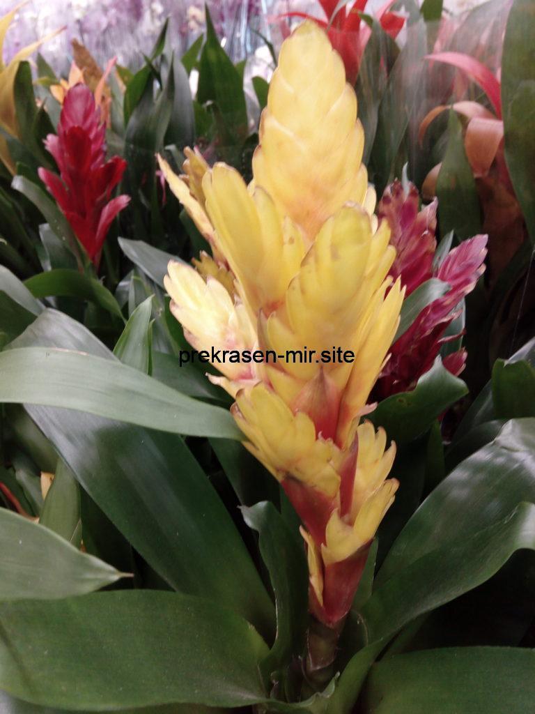 ТИЛЛАНДСИЯ комнатный цветок в домашних условиях