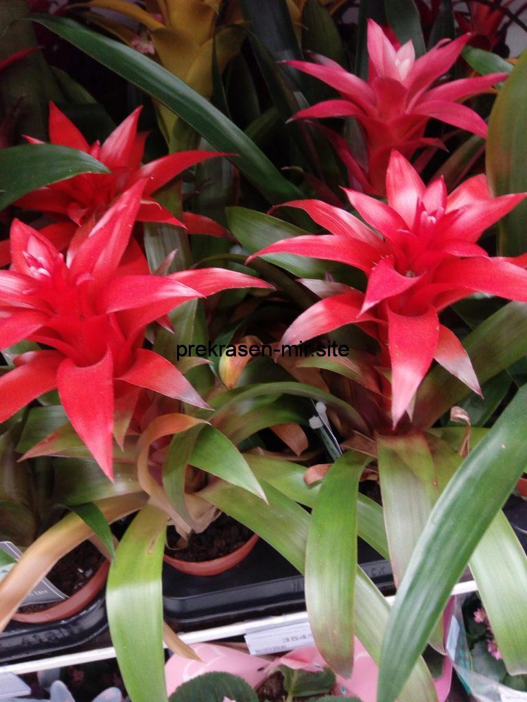 ГУЗМАНИЯ  -  домашнее растение