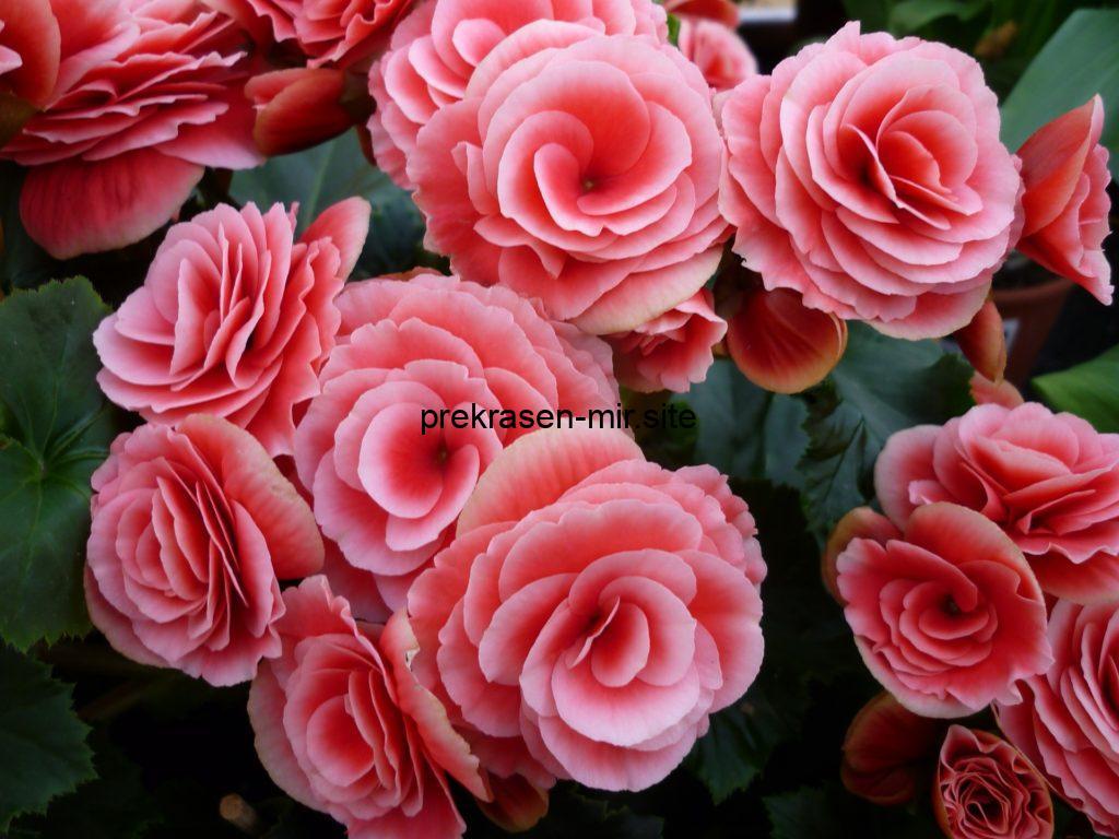 Домашний цветок - Бегония
