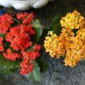 КАЛАНХОЕ комнатное растение в домашних условиях