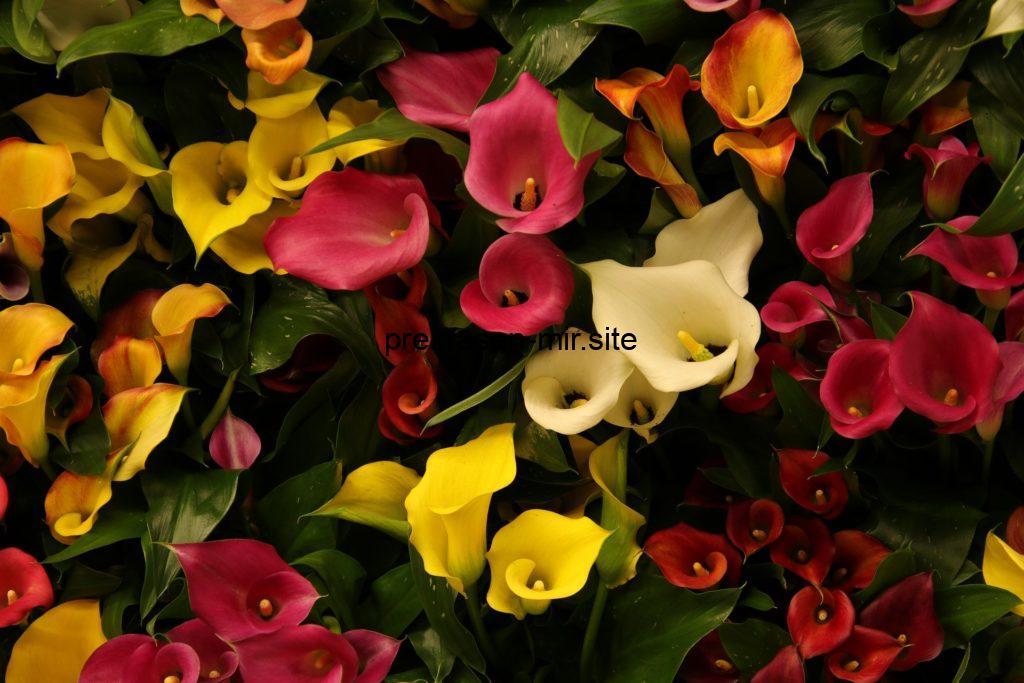 Callas à la maison (Каллы в домашних условиях) (на франц.яз )