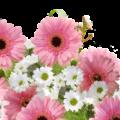 ТРАНСВААЛЬСКАЯ МАРГАРИТКА домашнее растение