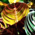 МАРАНТА домашнее растение