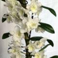 Дендробиум комнатное растение в домашних условиях