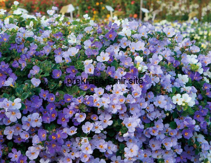 Бакопа - домашнее растение