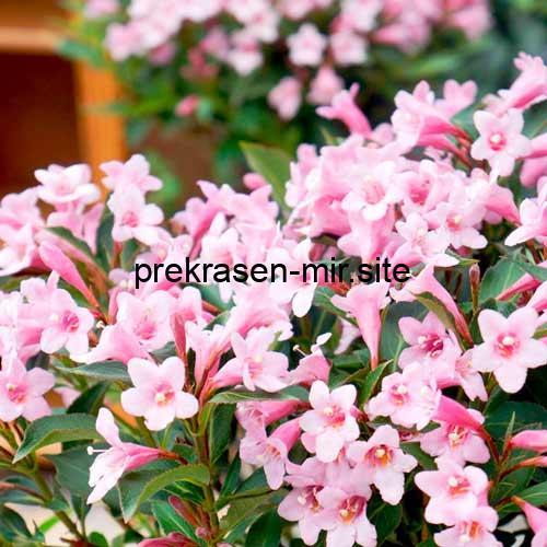 Домашнее растение Вейгела - сроки обрезки