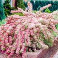 Вейгела - домашнее растение