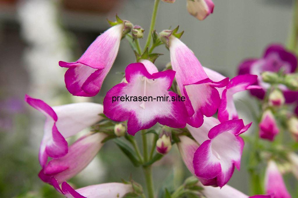 Пенстемон
