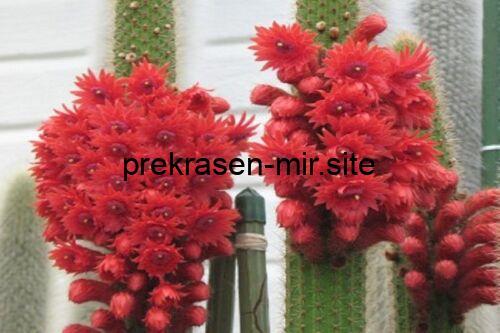 Bolivicereus Cleistocactus samaipatanus